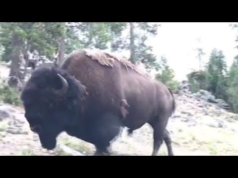 Charging bison tosses girl, 9, into air at Yellowstone National Park