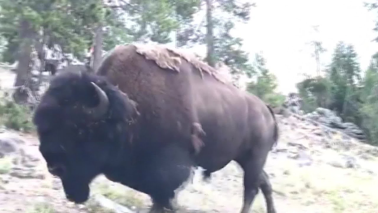 Download Charging bison tosses girl, 9, into air at Yellowstone National Park
