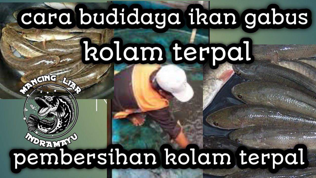 #Budidayaikangabus cara budidaya ikan gabus liar di kolam ...