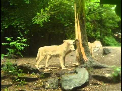 Hudson bay wolves in Artis zoo Amsterdam