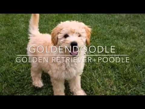 Poodle mixes Episode 1