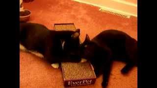 японский бобтэйл - порода кошек