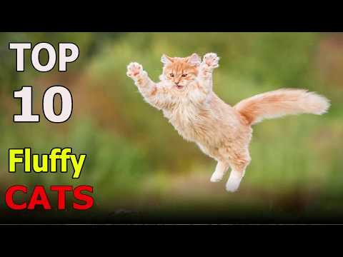 Top 10 Fluffy cat breeds | Top 10 animals