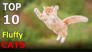 Top 10 Fluffy cat breeds | Top 10 animals