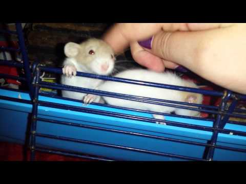 Ratten Welpen