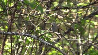 Finding a Hummingbird Nest