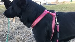 Hurtta Padded Y-Harness On Whizbee