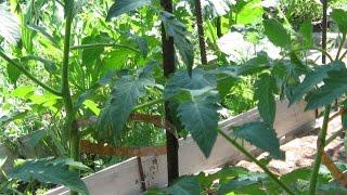Как подвязать помидоры, чтобы они не ломались при ветре!?(Кусты помидор подрастая могут пострадать от ветра. дождя, под тяжестью плодов. Чтобы стебель не искривился,..., 2015-06-06T15:38:09.000Z)