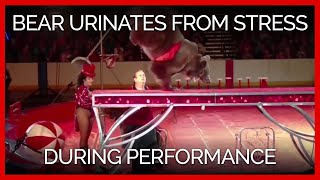 bear-forced-to-stand-on-front-legs-during-circus-performance-urinates-from-apparent-distress
