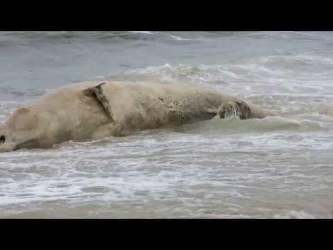 Bałtyk wyrzucił na brzeg Wala Butelkonosego Mielno Unieście