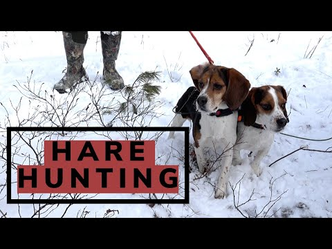 Snowshoe Hare Hunting Compilation   2020