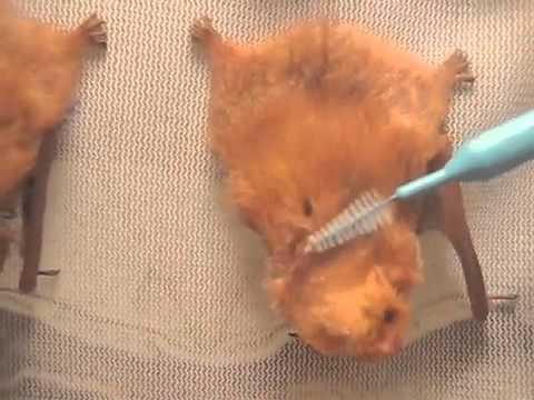brushing-baby-red-tree-bats,-mary-cummins,-animal-advocates