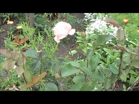 Белая, чайная роза