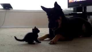 Mature German Shepard and 5 Week Old Kitten Play!!! | Graeme Provencal
