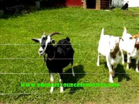 3 Goats Versus The Electric Fence Shocking Youtube
