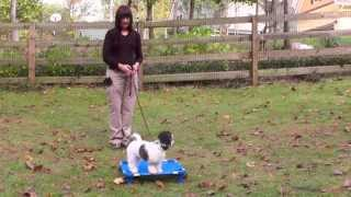 Puppy Training 2: Lilly Havanese, Boundary, Recall, Follow