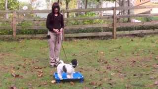 Puppy Training 2: Lilly Havanese, Boundary, Recall, Follow
