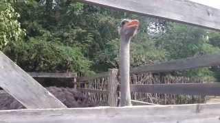 страусы в загоне(Африка́нский стра́ус (лат. Struthio camelus) — бескилевая нелетающая птица, единственный современный представител..., 2015-09-20T17:55:20.000Z)