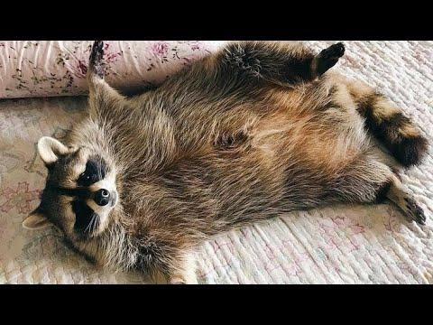 Вопрос: Сколько весит взрослый енот полоскун?