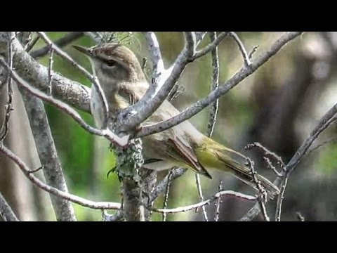 Brown Palm Warbler