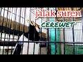Jalak Suren Gacor Cerewet Jalak Suren  Mp3 - Mp4 Download