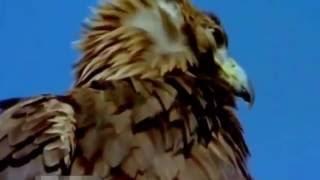 Орел охотится на горного козла