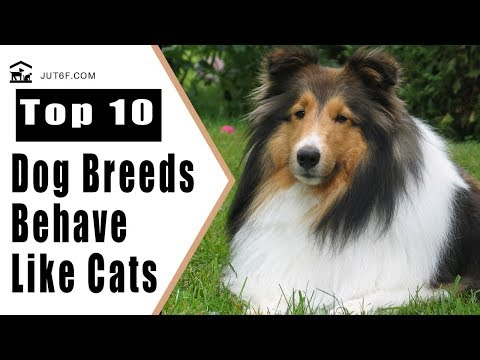 Top 10 Dog Breeds That Behave Like Cats