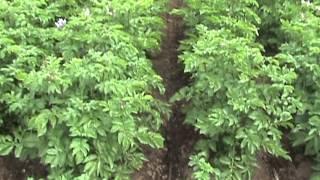 Experiencia de riego con cinta exudante en cultivos  El Carmen, Provincia de Ñuble.mpg
