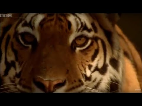The Battle to Save the Tiger | BBC Earth
