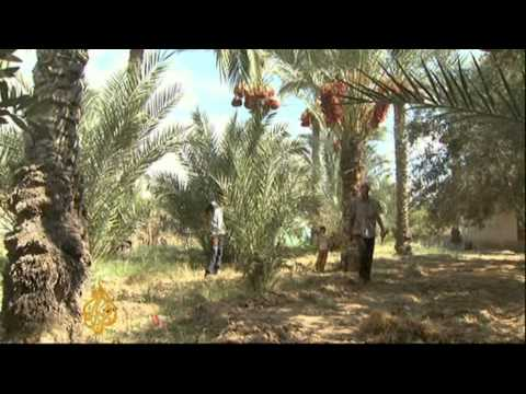 Ban on palm frond export hits Gaza farmers