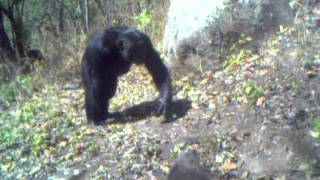Video Issa Valley (Ugalla) Chimpanzees download MP3, 3GP, MP4, WEBM, AVI, FLV November 2017