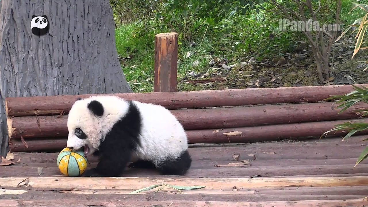 Giant Panda Cubs Playing Cute panda cub ...