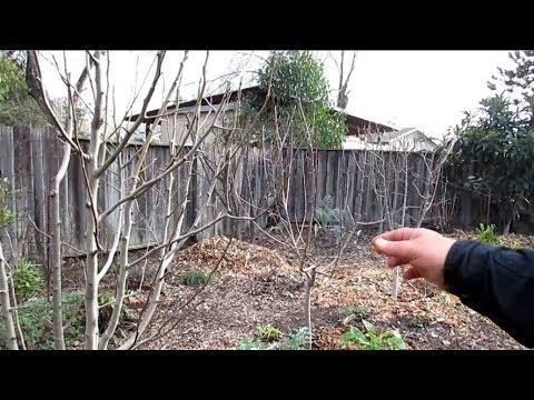 How I Prune My Dormant Fruit Trees To Keep Them Dwarf