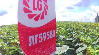 Товарное демо-поле подсолнуха Лимагрейн 59580 - БОМБА!!!