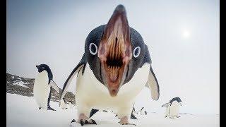 Интересные  факты о пингвинах  Смешные пингвины  Досмотрите до конца!
