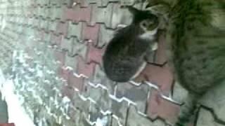 кошки татарские