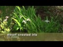Growing Dwarf Crested Iris