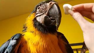 Попугай ара расцарапал нос