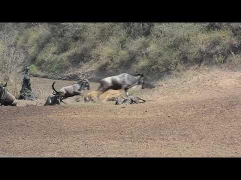 Masai Mara Mara Nehri Geçişi- Aslanlar antiloplara saldırıyor!
