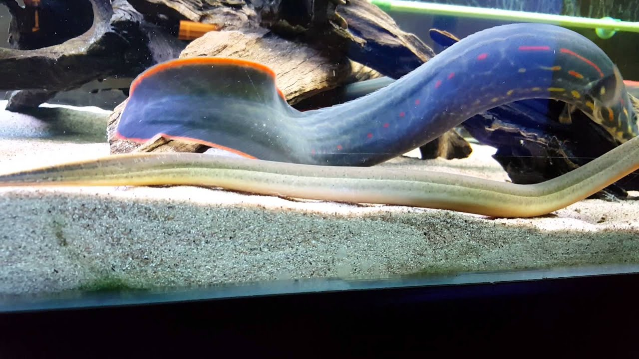 Monsterfish aquarium my 40cm fire eels and more youtube for Eel fish tank