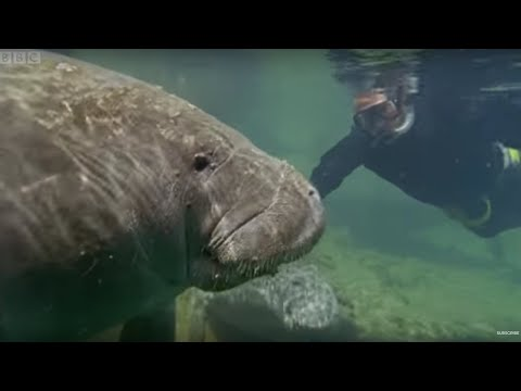 Bad Breath From the Gentle Sea Cow Manatee - Attenborough - Life of Mammals - BBC