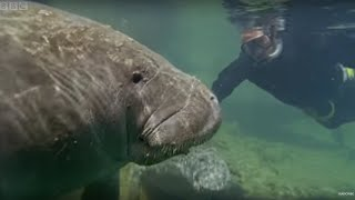Bad Breath From the Gentle Sea Cow Manatee | Attenborough | Life of Mammals | BBC thumbnail