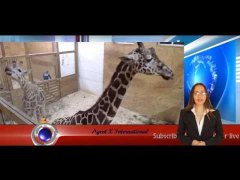 Thumbnail: April the Giraffe is going into labor | Animal Adventure Park in Harpursville | USA Breaking news