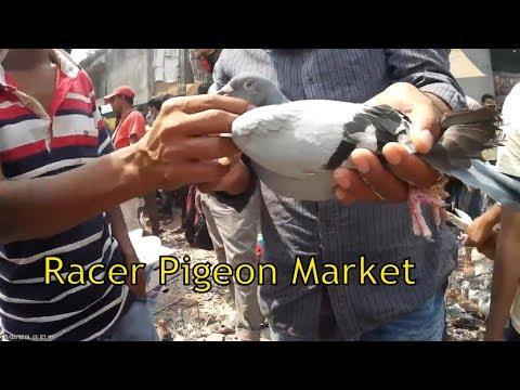 Homing pigeon   Fancy pigeons for sale at Kaptan bazar pigeon market in Dhaka