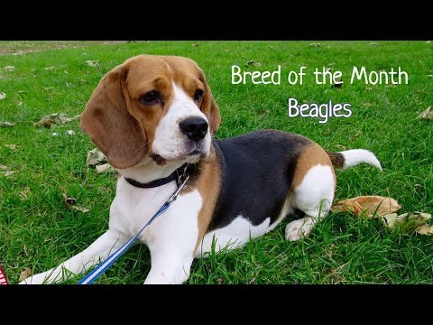 Breed of the month: Beagle