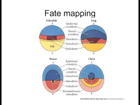 Lecture 1 Fate Mapping on dna mapping, thomas morgan's linkage mapping, community mapping, cognitive mapping, mental mapping,