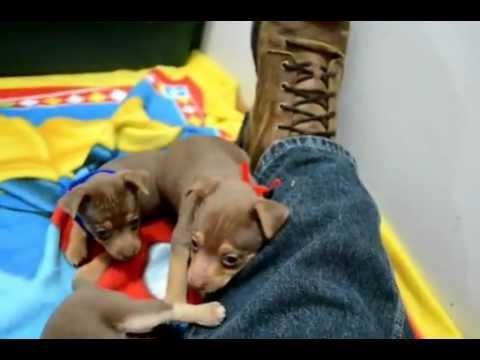 Selmas puppies 5 wks old
