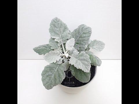 tanaman-hias-indoor-unik-silver-dust