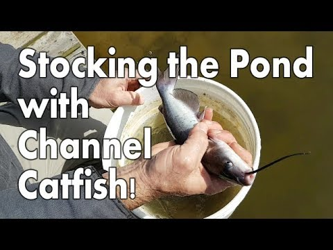 Stocking The Pond With Channel Catfish