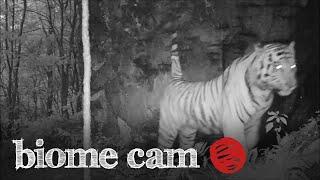 Amur Tiger Camera Trap Footage   Biome Cam